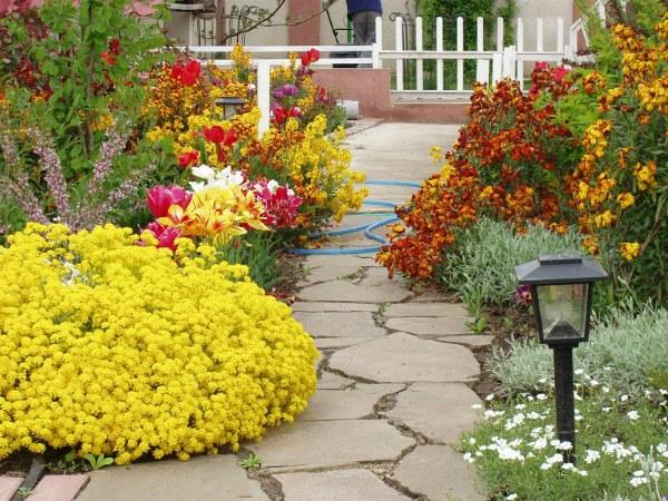 С какими цветами сочетают Алиссум на клумбе