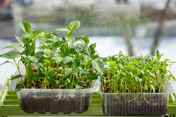Особенности выращивания рассады и уход