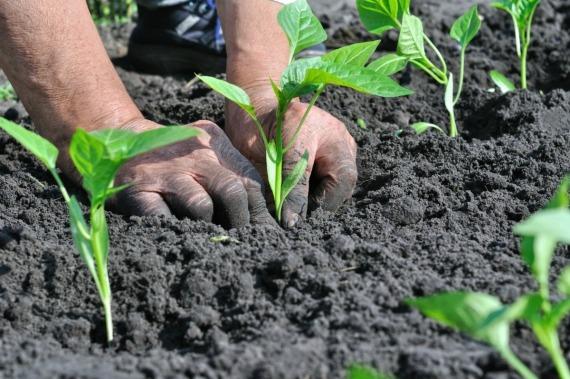 Как вырастить перец в открытом грунте