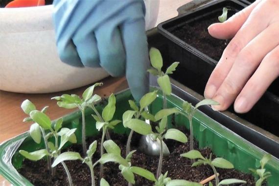 Как правильно пикировать помидоры: пошаговая инструкция