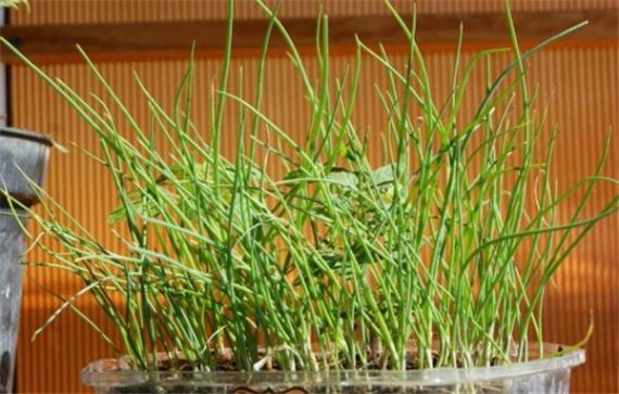 Как вырастить лук из семян в домашних условиях на рассаду