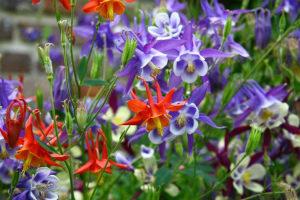 Аквилегия выращивание из семян когда сажать Фото Видео