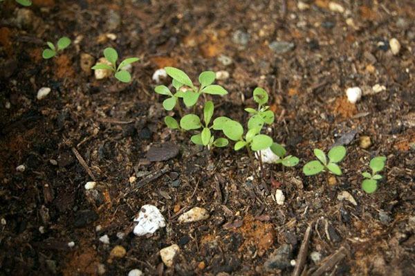 Выращивание алиссума из семян в открытом грунте