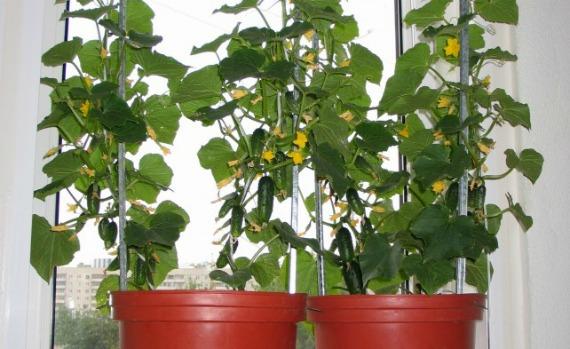 Какие сорта огурцов можно выращивать в домашних условиях