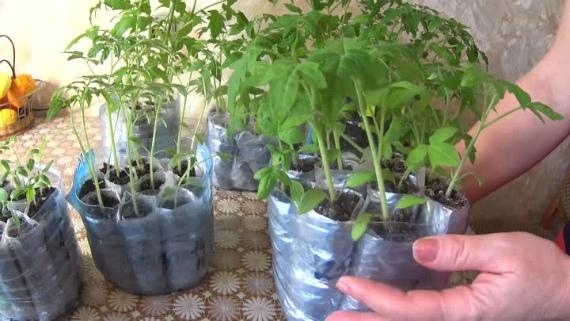 Уход за рассадой томатов после пикировки