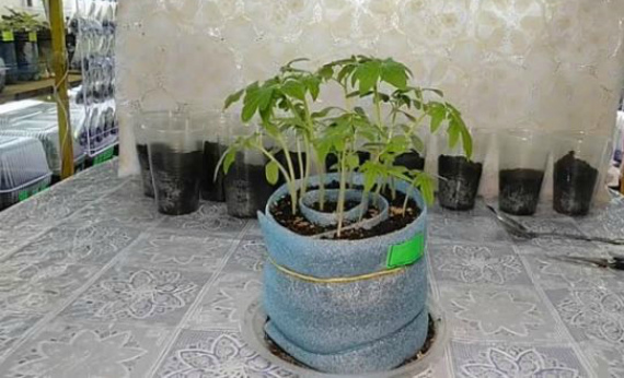 Особенности выращивание рассады томатов в улитке без пикировки