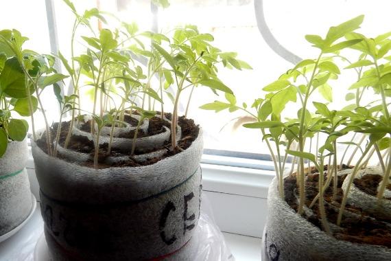 Возможные ошибки при выращивании рассады помидоров в улитках