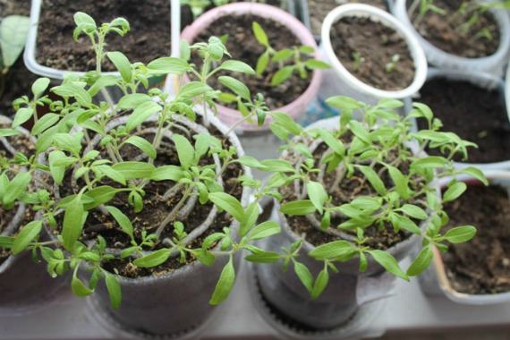 Преимущества и недостатки выращивания рассады в улитках