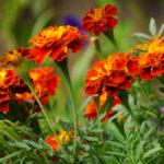Бархатцы: выращивание из семян, когда сажать на рассаду