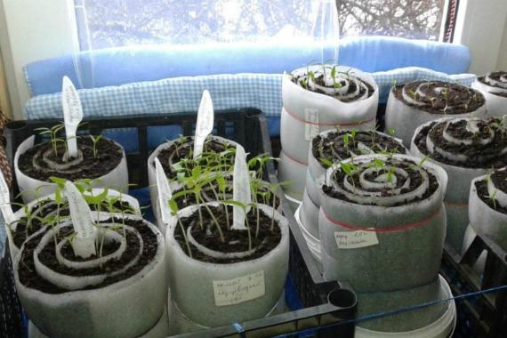 Посев помидоров в улитку с землей