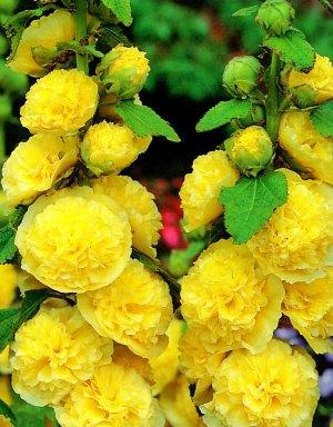 Шток-роза желтая