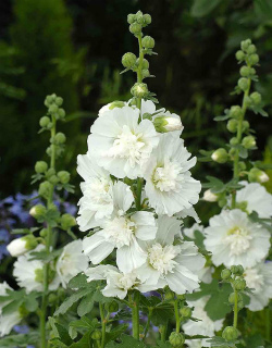Шток роза королевская белая
