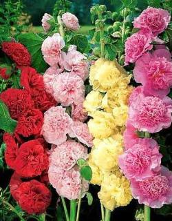 Шток роза летний карнавал