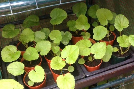 Особенности выращивания шток-розы из семян в домашних условиях