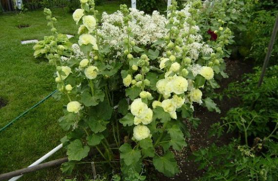 Выращивание шток-розы в открытом грунте