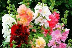 Шток-роза: выращивание из семян когда сажать на рассаду, посадка и уход