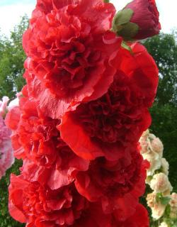 Шток роза Красна девица