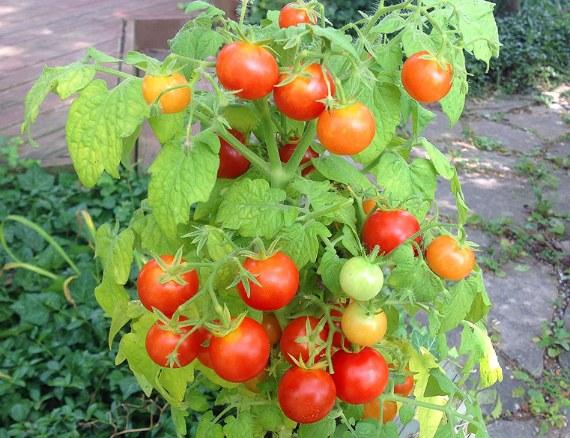 Лучшие сорта помидор ранних: посадка и уход