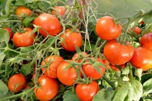 Низкорослые сорта томатов для открытого грунта урожайные