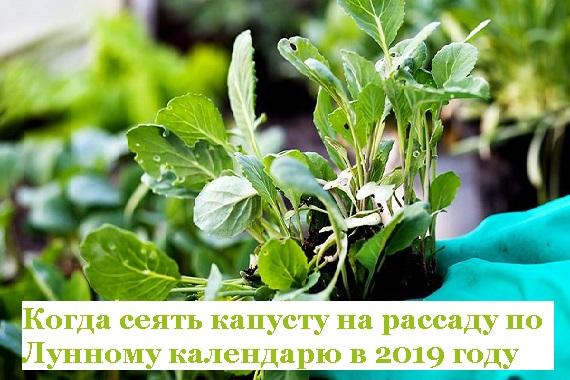 Когда сжать капусту на рассаду по Лунному календарю в 2019 году
