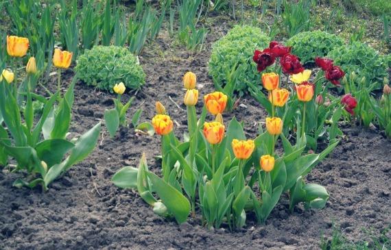 Нужно ли сажать тюльпаны весной