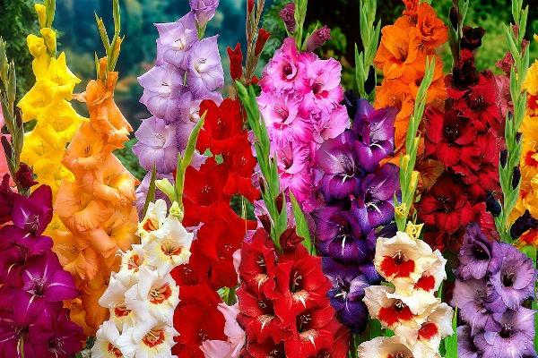 Виды и популярные сорта гладиолусов