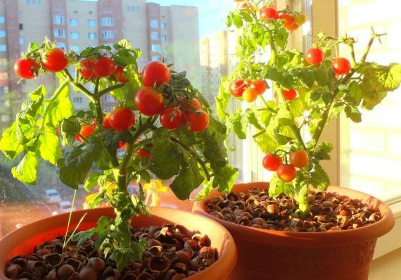 Какие условия нужны для выращивания помидоров на балконе