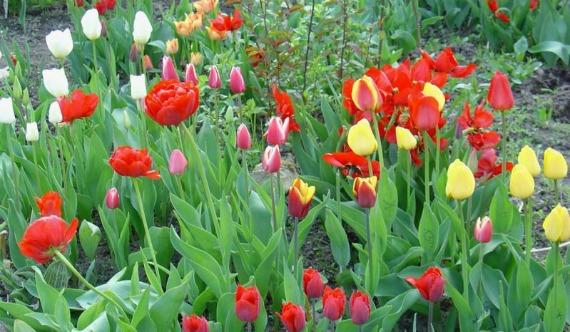 Советы садоводам по выращиванию тюльпанов весной