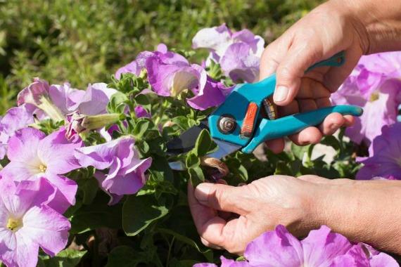Как прищипывать цветущую петунию