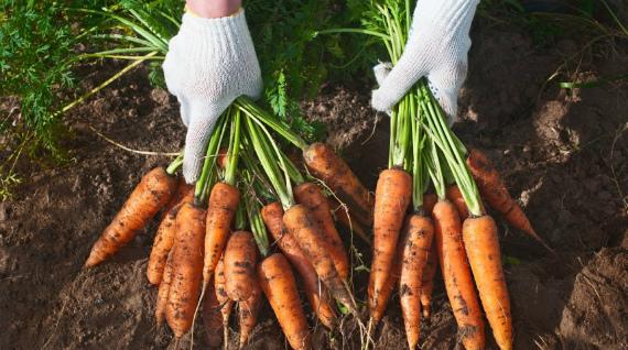 Уборка и способы хранения урожая