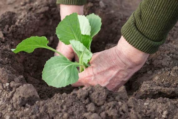 Когда пересаживать капусту в открытый грунт