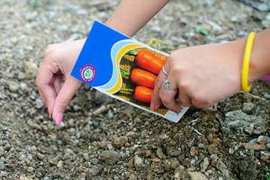 Когда сажать морковь в средней полосе
