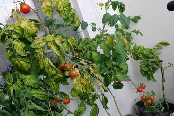 Проблемы при выращивании томатов в домашних условиях