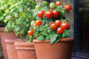 Как вырастить помидоры на балконе в домашних условиях Фото Видео