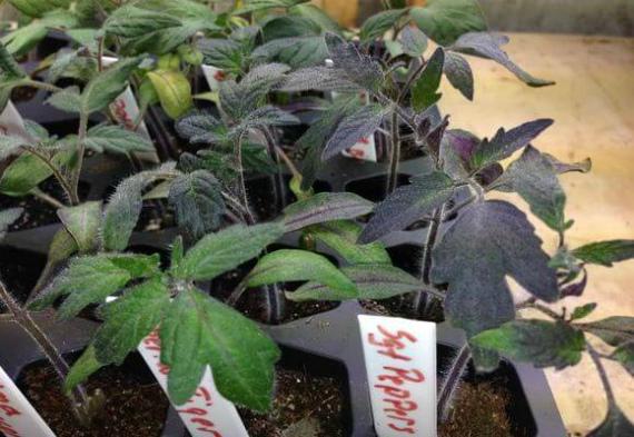 Как устранить фиолетовый оттенок на рассаде помидоров