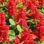Сальвия: фото цветов, когда сажать и как ухаживать
