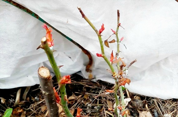 Как уберечь розы от выпревания