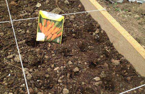 Сроки посева моркови в открытый грунт