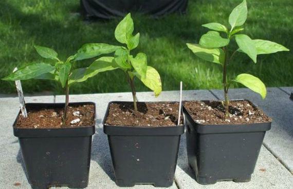 Недостаток питания при выращивании рассады