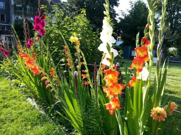 Гладиолусы в цветнике