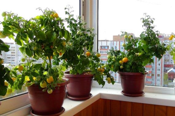 Подходящие сорта томатов для балконного выращивания