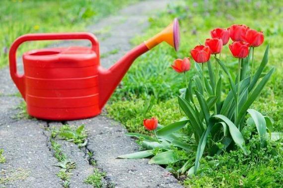 Уход за тюльпанами весной
