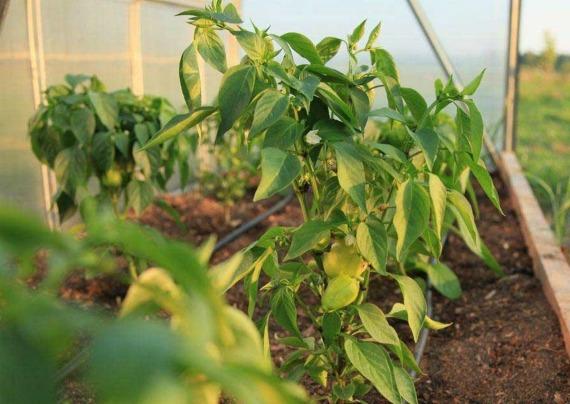 Желтеют листья у перца в теплице, причины