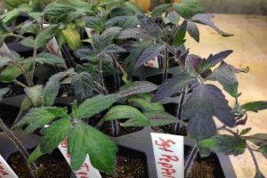 Почему рассада помидор фиолетовая и плохо растет Как помочь рассаде
