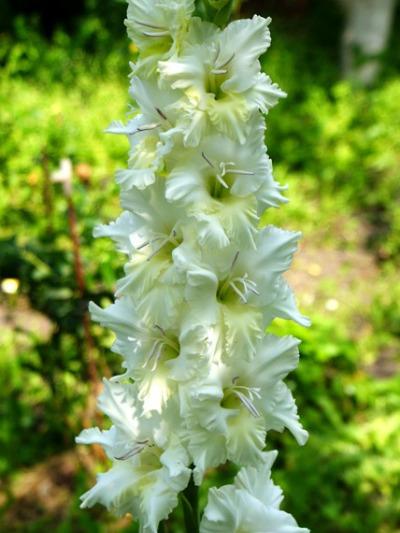 Сорт гладиолусов Белая береза