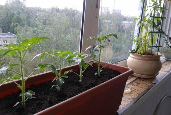 Пересадка томатов на постоянное место