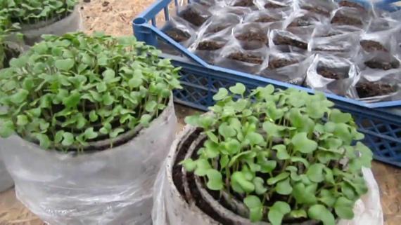 Как вырастить рассаду капусты в улитке