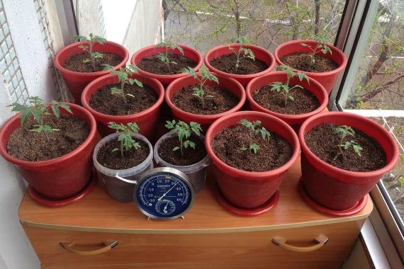 Дальнейший уход за помидорами на балконе