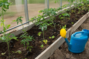 Капельный полив для помидоров в теплице своими руками