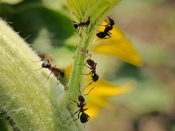 Откуда появляются муравьи на дачном участке